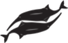 Mormyridae - African weakly electric fishes
